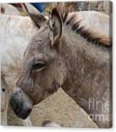 Sad Wild Donkey Canvas Print