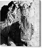 saddled dromedary camel sitting on the sand in the sahara desert at Douz Tunisia Canvas Print