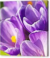 Saffron Flowers. Canvas Print