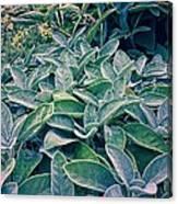 Sage In The Garden Canvas Print