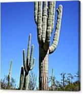 Saguaro At The Saguaro National Park Canvas Print
