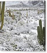 Saguaro Cacti After Rare Desert Canvas Print