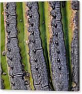 Saguaro Cactus Close-up Canvas Print
