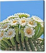 Saguaro Flowers On Top Canvas Print