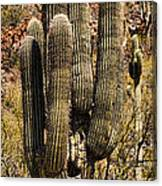Saguaro Of Many Arms Canvas Print