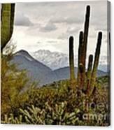 Saguaro Sentinels Canvas Print