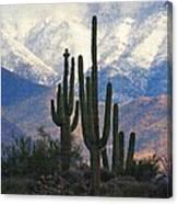 Saguaros And Snow Canvas Print