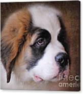 Saint Bernard Puppy Canvas Print