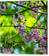 Sakura Tree In Bloom - Featured 3 Canvas Print