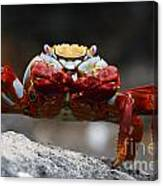 Sally Lightfoot Crab Galapagos Canvas Print
