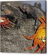 Sally Lightfoot Crabs And Marine Canvas Print
