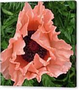 Salmon Colored Poppy Canvas Print