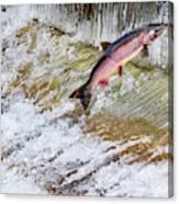 Salmon Jumping Issaquah Hatchery Canvas Print