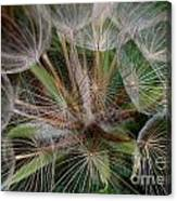 Salsify Seeds - 1 Canvas Print