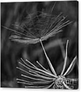 Salsify - Wildflower - Seed Canvas Print