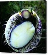 Saltwater Bearded Snail Canvas Print