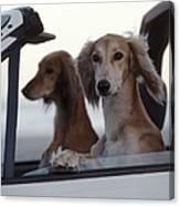 Saluki Dogs In Car Canvas Print