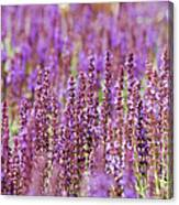 Salvia Abstract Canvas Print