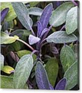 Salvia Officinalis Var. Purpurascens Canvas Print