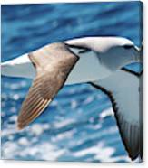 Salvins Albatross Canvas Print