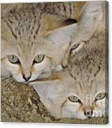 Sand Cat Felis Margarita Canvas Print