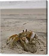 Sand Crab Canvas Print