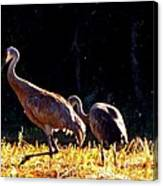 Sand Hill Crane  Canvas Print