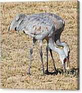 Sand Hill Cranes Eat Togeather Canvas Print