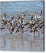 Sand Pipers Arrive At The Grp Canvas Print