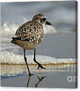 Sanderling Gulf Of Mexico Canvas Print