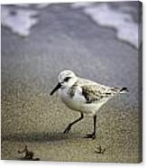 Sanderling On The Shore Canvas Print
