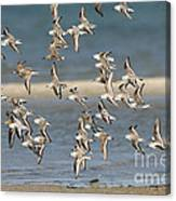 Sanderlings And Dunlins In Flight Canvas Print