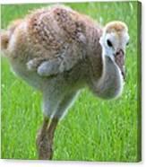 Sandhill Crane Chick I Canvas Print