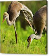 Sandhill Crane Chick Stretching Canvas Print
