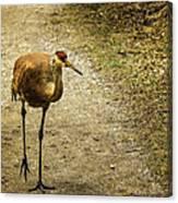 Sandhill Crane On The Road Canvas Print