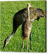 Sandhill Crane With Chick II Canvas Print