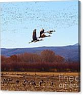Sandhill Cranes 6 Canvas Print