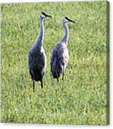 Sandhill Cranes In Wisconsin Canvas Print