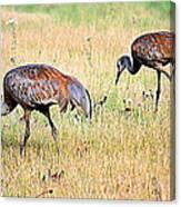 Sandhill Cranes Ll Canvas Print