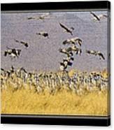Sandhill Cranes On The Ground Canvas Print