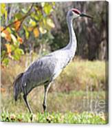 Sandhill Passing By Canvas Print