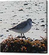 Sandpiper And Seaweed Canvas Print