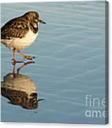 Sandpiper Bird Walking On Water Canvas Print