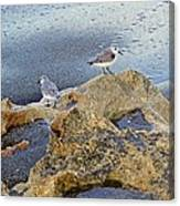 Sandpipers On Coral Beach Canvas Print