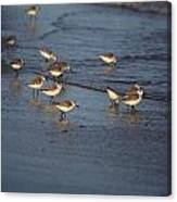 Sandpipers 6 Canvas Print