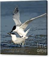 Sandwich Terns Mating Canvas Print