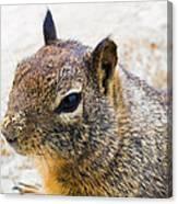 Sandy Nose Squirrel Canvas Print