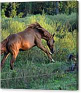 Sandy The Roan Cavorting  - C0094e Canvas Print