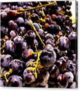 Sangiovese Grapes Canvas Print