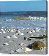 Sanibel Sand Dollar 2 Canvas Print